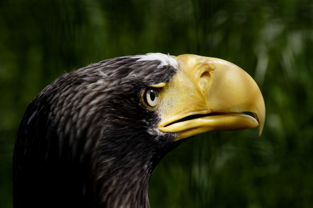 Steller-Sea-Eagle