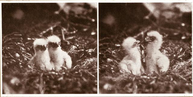 Twin-Eaglets-in-nest-01