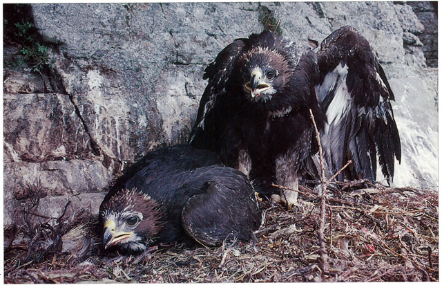 Twin-Eaglets-in-nest-04