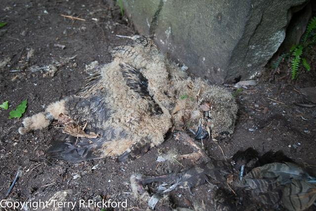 Dead Eagle Owl