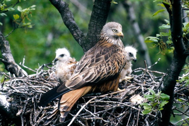Red Kite in nest