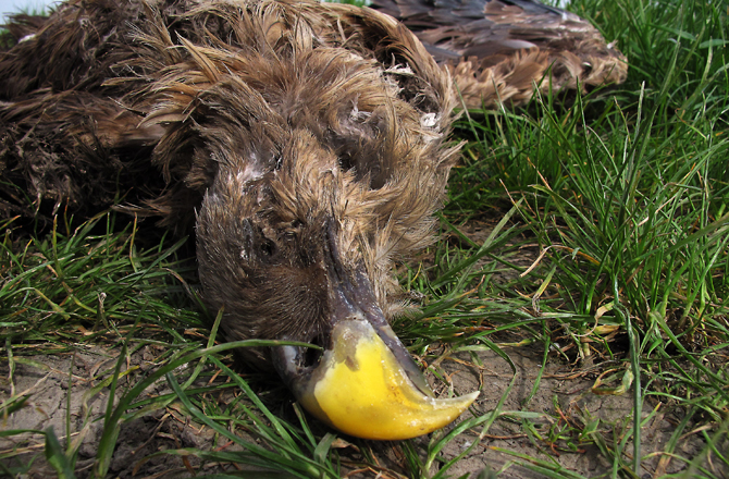 White-tailed eagle serbia 04