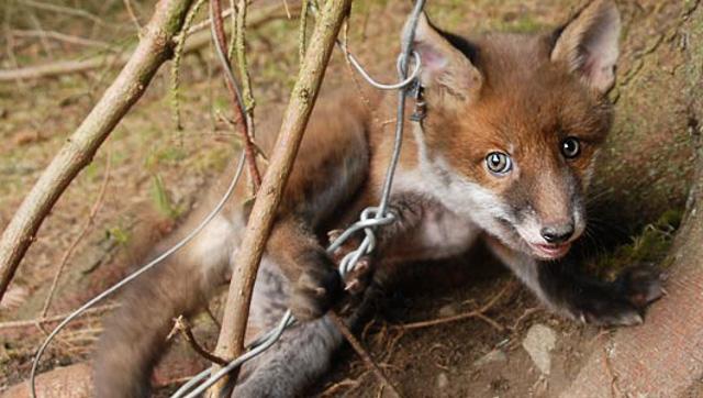 Fox in Snare