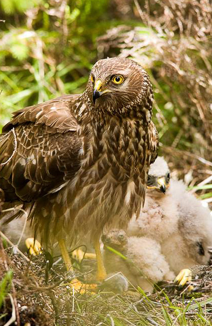 Hen Harrier isle of man