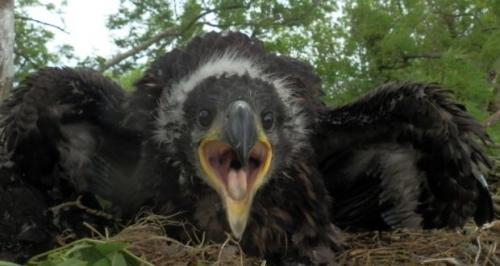 Irish Golen Eagle