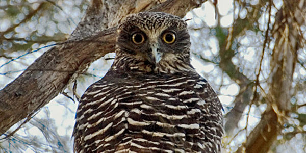 Powerfull Owl