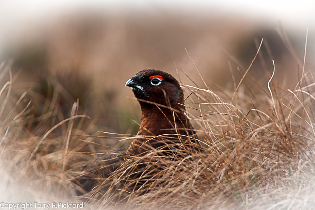 Red Grouse-1