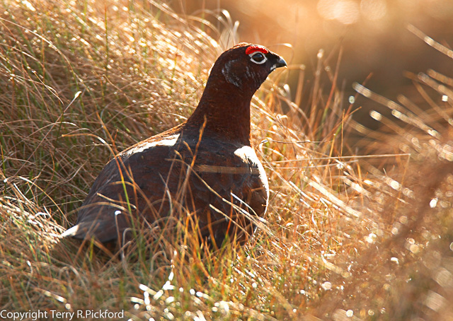 Red Grouse landscape image-1