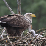 White-tailed eagle with chick-1