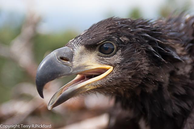 Eagle Chick Head