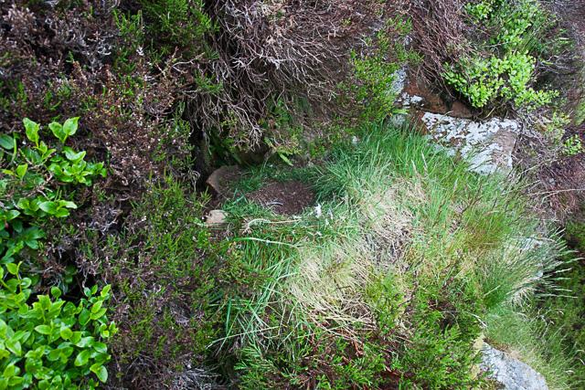 Peegrine nest robbed 2013-1