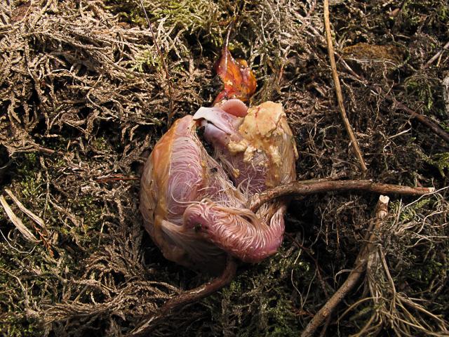 peregrine dead embrio -1