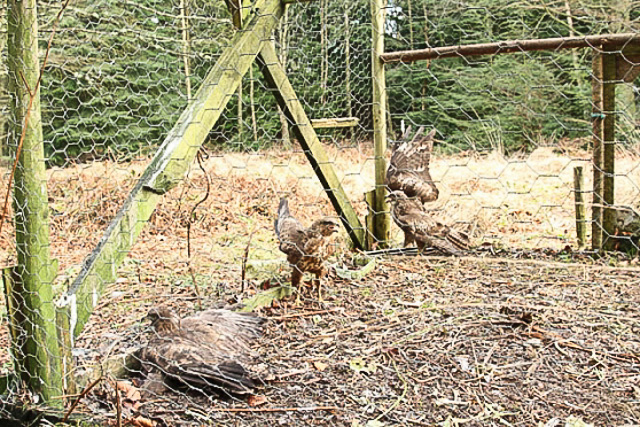 trapped buzzards-1