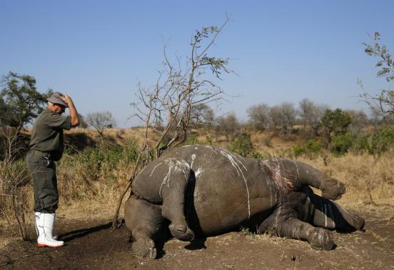 A ranger gestures before performing a post mortem on the carcass of a rhino after it was killed for its horn by poachers at the Kruger national park