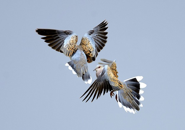 Turtle_doves__David_Tipling
