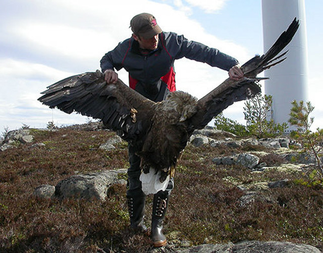 Dead White-tailed eagle Windfarm kill Norway-1
