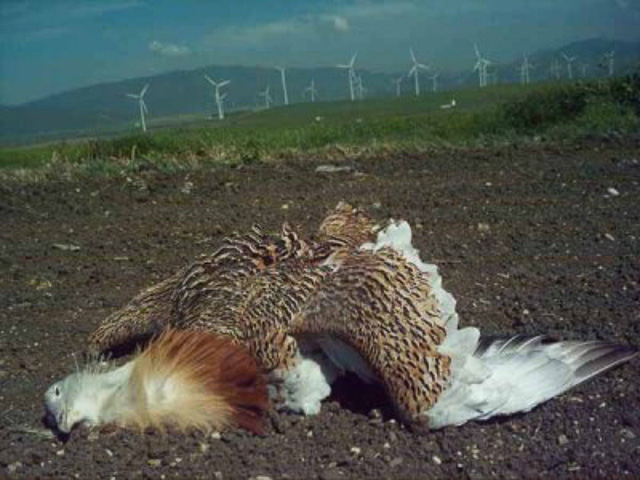 Great Bustard Spain-1