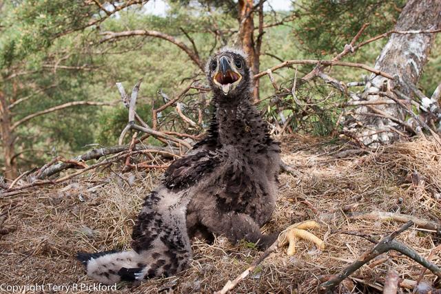 eaglet (1 of 1)