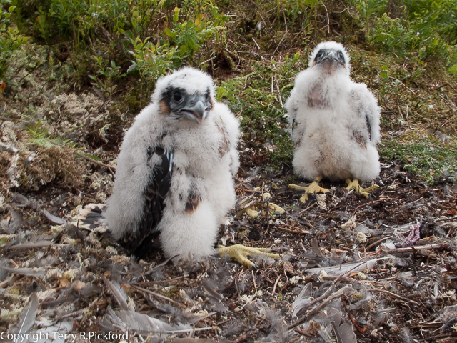 Peregrine Chicks Crizedale 02-1