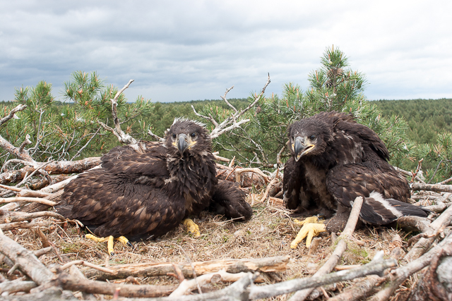 Two White-tailed eagle chicks (1 of 1)