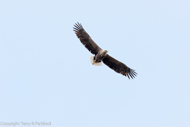 White-tailed Eagle flying (1 of 1)