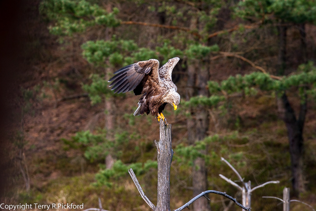 White-tailed Eagle perched (1 of 1)