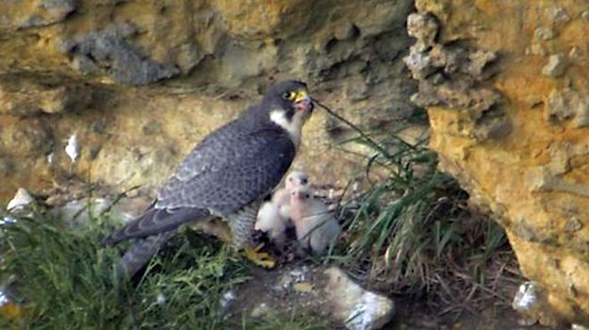 Peregrine-3-chicks-web