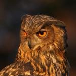 eagle owl web-1