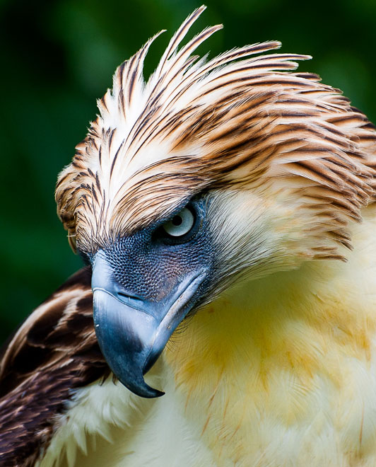 Eagle-web