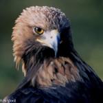 Golden Eagle Head-1