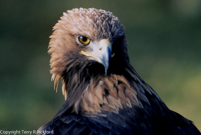 Golden Eagle Head-1