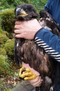 Ireland Eagle