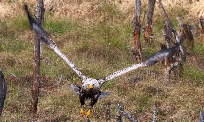 Male-White-tailed-eagle--HI