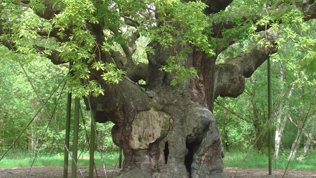 major-oak_web