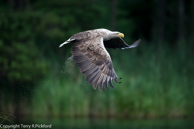 white-tailed eagle (1 of 1)