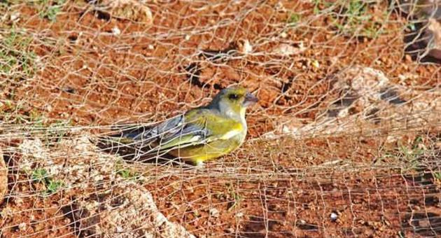 Finch Trapping