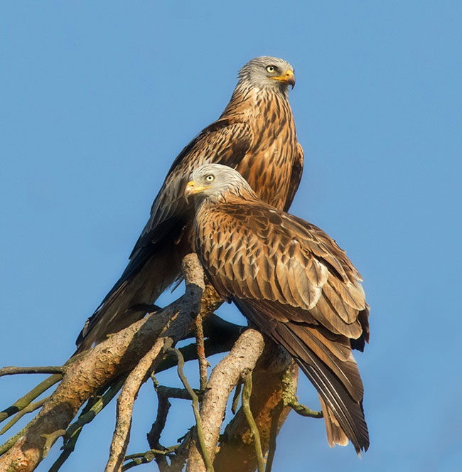 Red-Kite-web