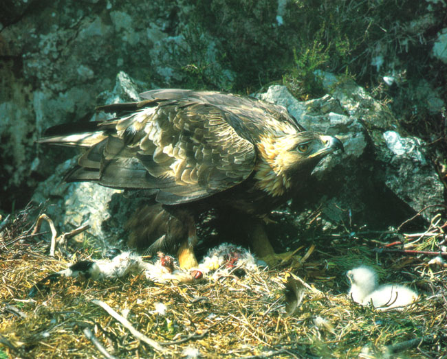 Golden-Eagle-feeding-eaglet