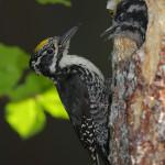 Three-toed-woodpecker-Jean-150x150
