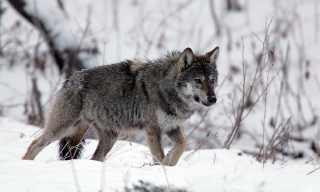 wolf-WEB