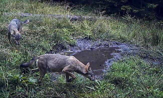 wolf-mud-bath