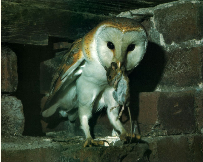 The barn owl is really suffering to locate food this for Food bar owl