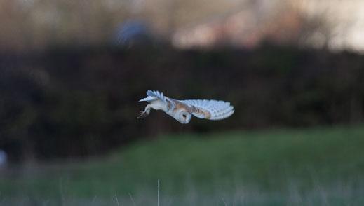 Barn-Owl-Scronkey-web