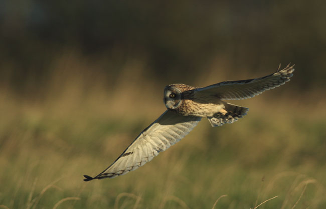 Short-eared-owl-web