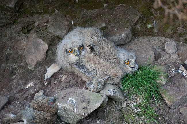 Eagle Owls Stoney Clough