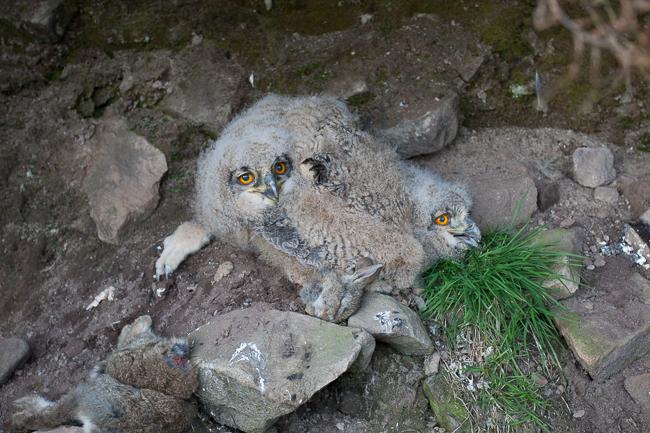 Eagle Owls Stoney Clough