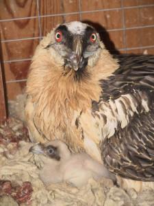 Bearded Vulture 2