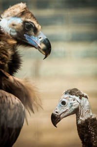 black-vulture2web