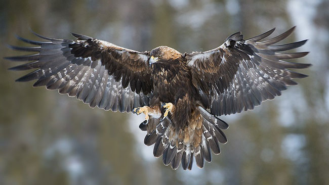 Golden-Eagle-Culling-web
