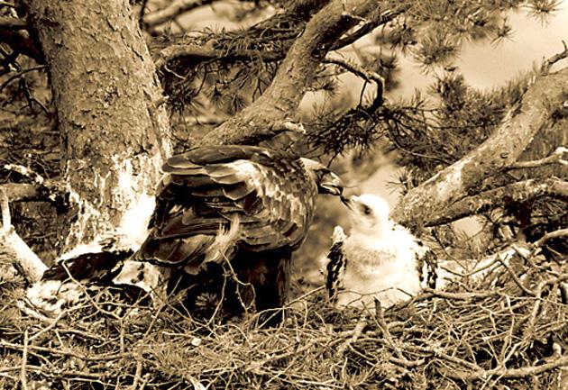 CLUNY-EAGLE-FEEDING-EAGLET